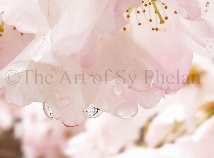 """Cherry Blossom Season"""