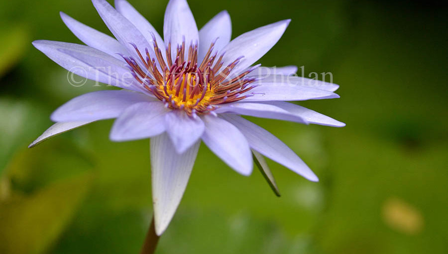 """""""Water Lily #3"""""""