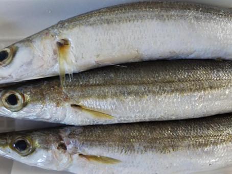 毎週土曜開始、鮮魚市情報!