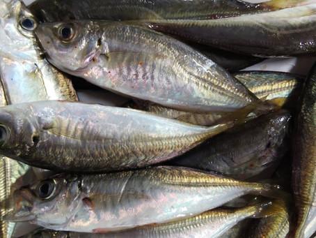 毎週土曜開催 鮮魚市情報!