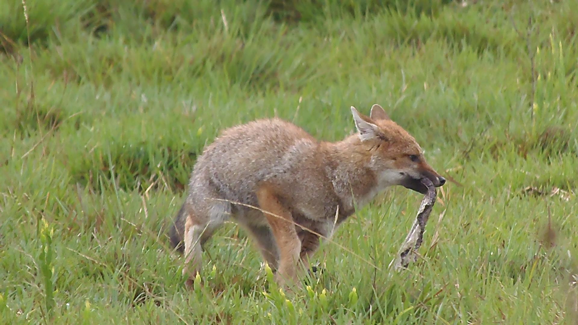 Vida Selvagem - Graxaim