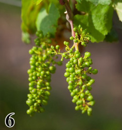 THE BIRTH OF THE GRAPES
