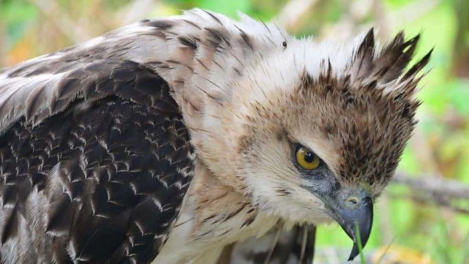 Quieren salvar al águila crestada