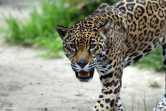 Buscan al jaguar que atacó a dos integrantes de la comunidad U'wa