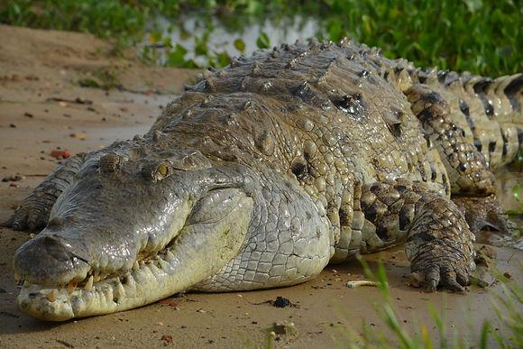 El enorme caimán visto en el río Magdalena