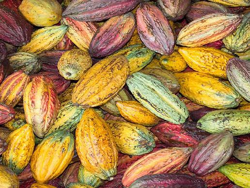 Pasos para que el cacao boyacense sea cada vez mejor