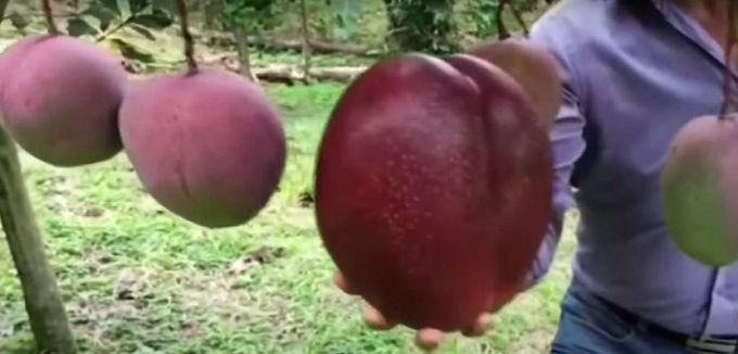 Un mango de Guayatá espera entrar a los Guinness Records