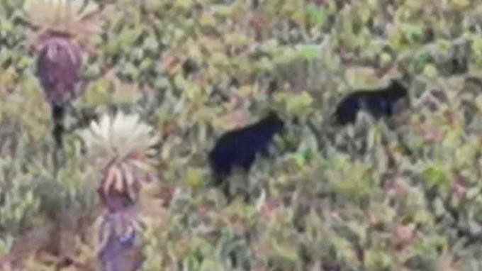 Piden protección para los osos vistos en Gámeza