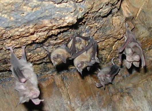 Aúnan esfuerzos para proteger las 44 especies de murciélagos que hay en Boyacá