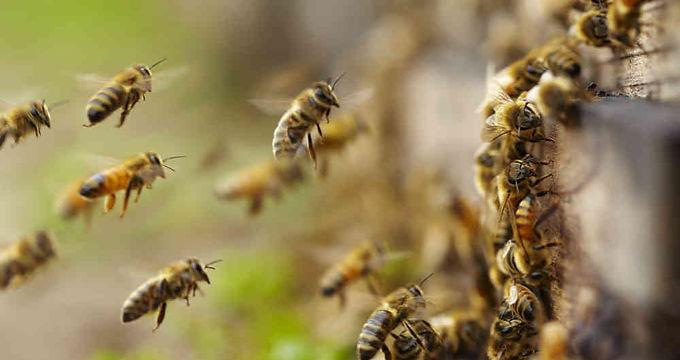 El ICA empezó la investigación por la muerte de abejas en Nuevo Colón