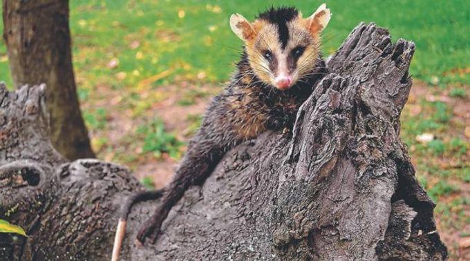 La zarigüeya es la principal víctima de atropellamiento de fauna silvestre