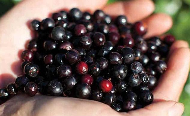 El recubrimiento comestible para el agraz, creado en la Uptc es reconocido a nivel mundial