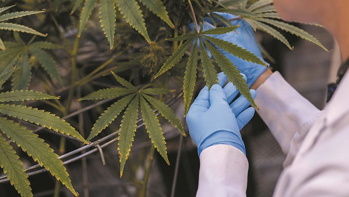 El cannabis medicinal producido en Colombia llega a 14 países