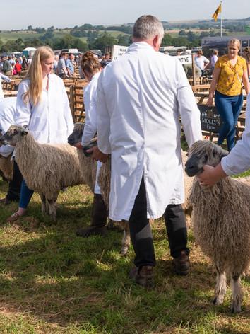 Judging Wensleydale Sheep at Wensleydale