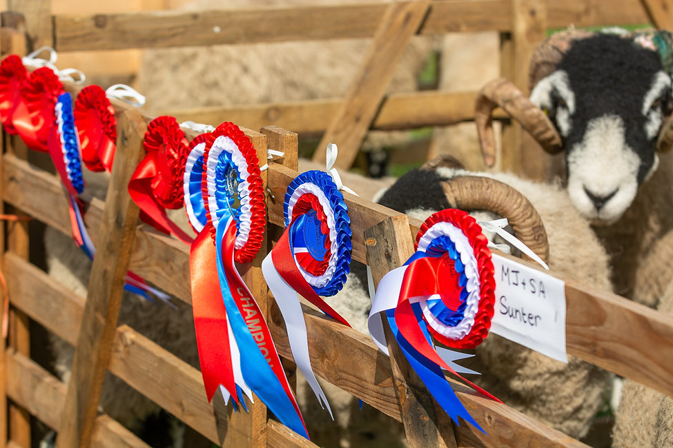Rosettes and Sheep at Wensleydale Show (