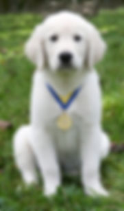 AKC Puppy S.T.A.R trainin
