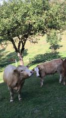 Bulle und Kühe auf der Weide