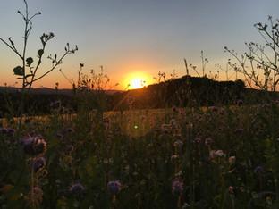 Blühstreifen auf dem Kornfeld