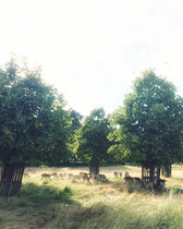 Oh deer 🦌 dreamy afternoon (lime🌳)light 💡 settling over the meadow of the Hampton Court Palace grounds