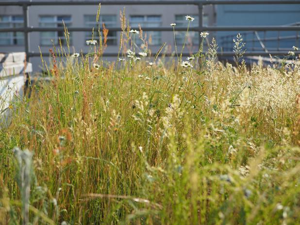 Rooftop wildflower turf