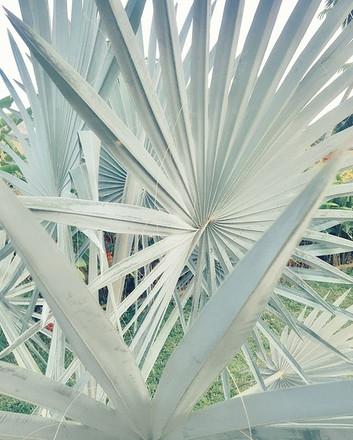 Glaucous architectural plant dayDreams 🍃