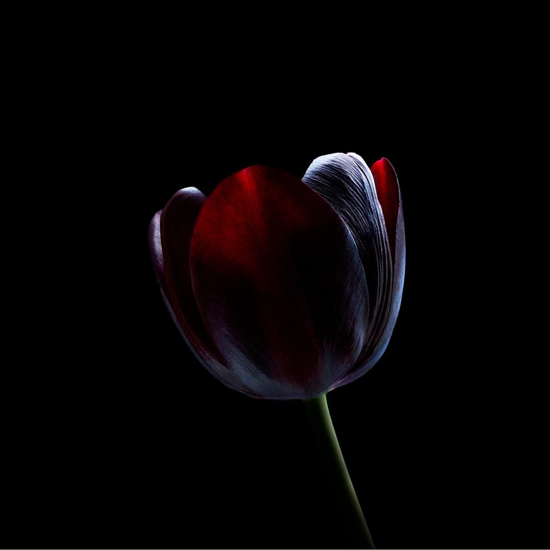 Tulip - Purple 02