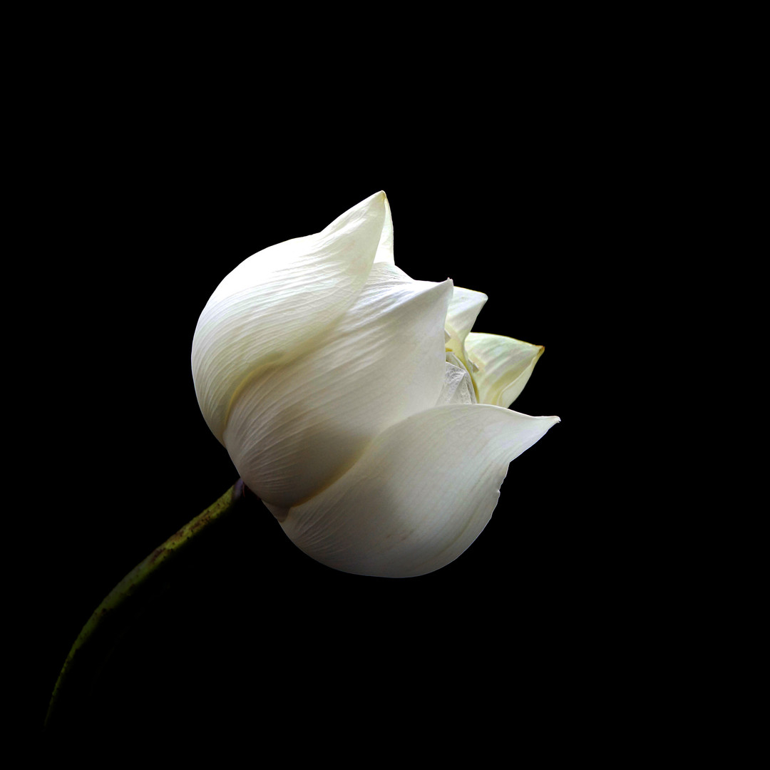 Lotus_7841.jpg