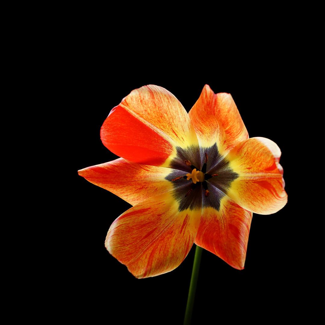 Tulip -Yellow 08
