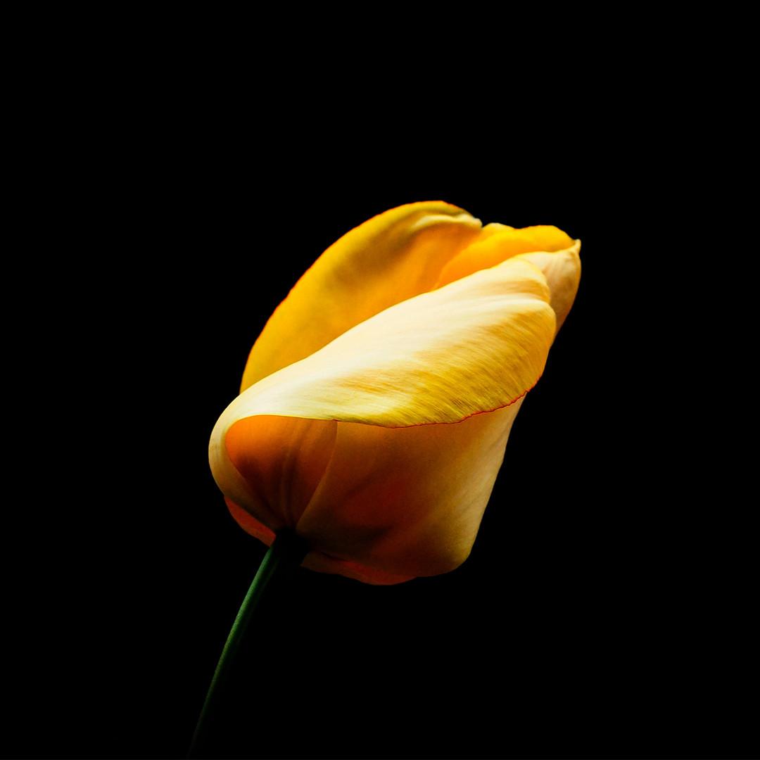Tulip-Yellow 07