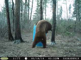 Why I Love Bear Baiting