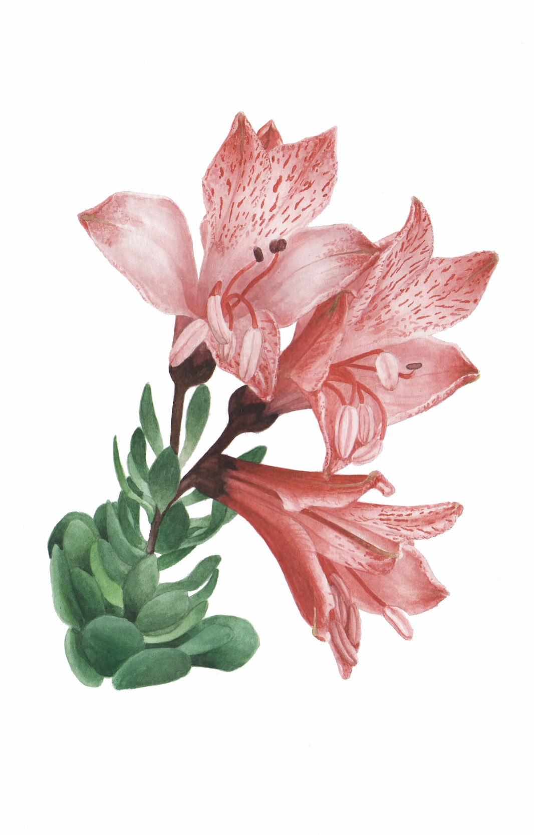 lstroemeria spathulata