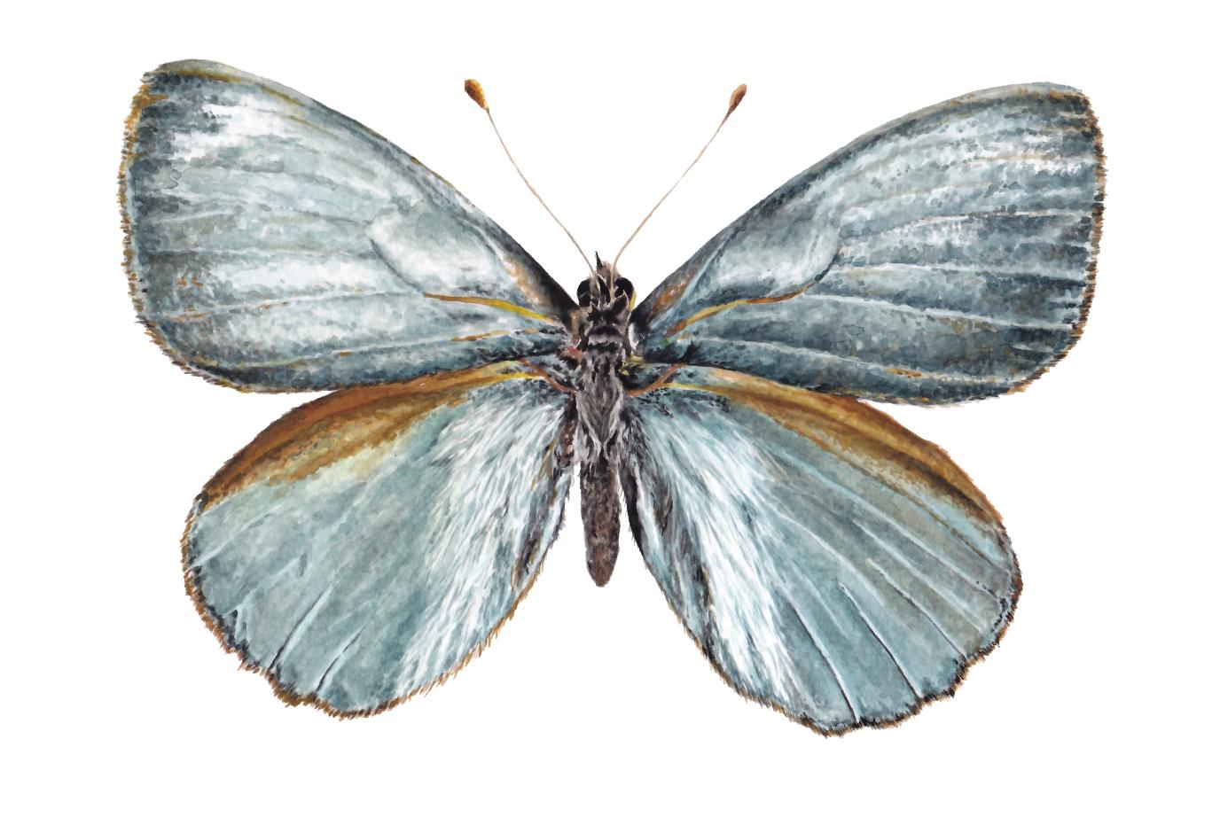 Mariposa plateada