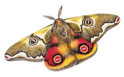 Mariposa de cuatro ojos