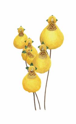 Capachito •Calceolaia biflora•