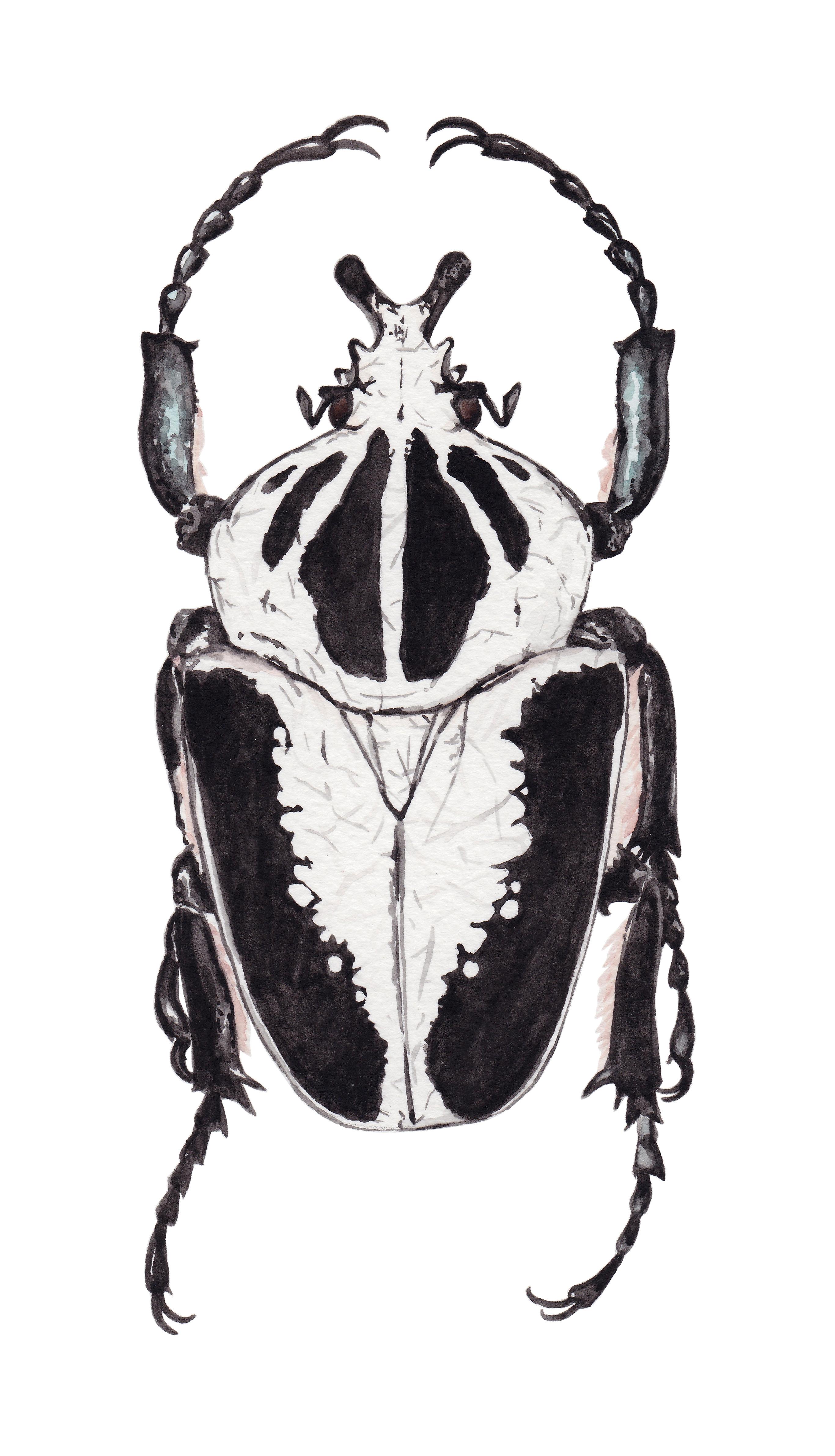 Escarabajo goliath Goliathus Regius