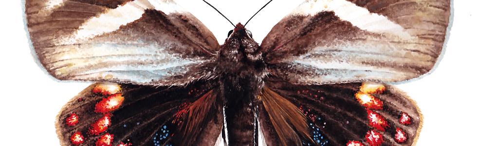 Mariposa del chagual