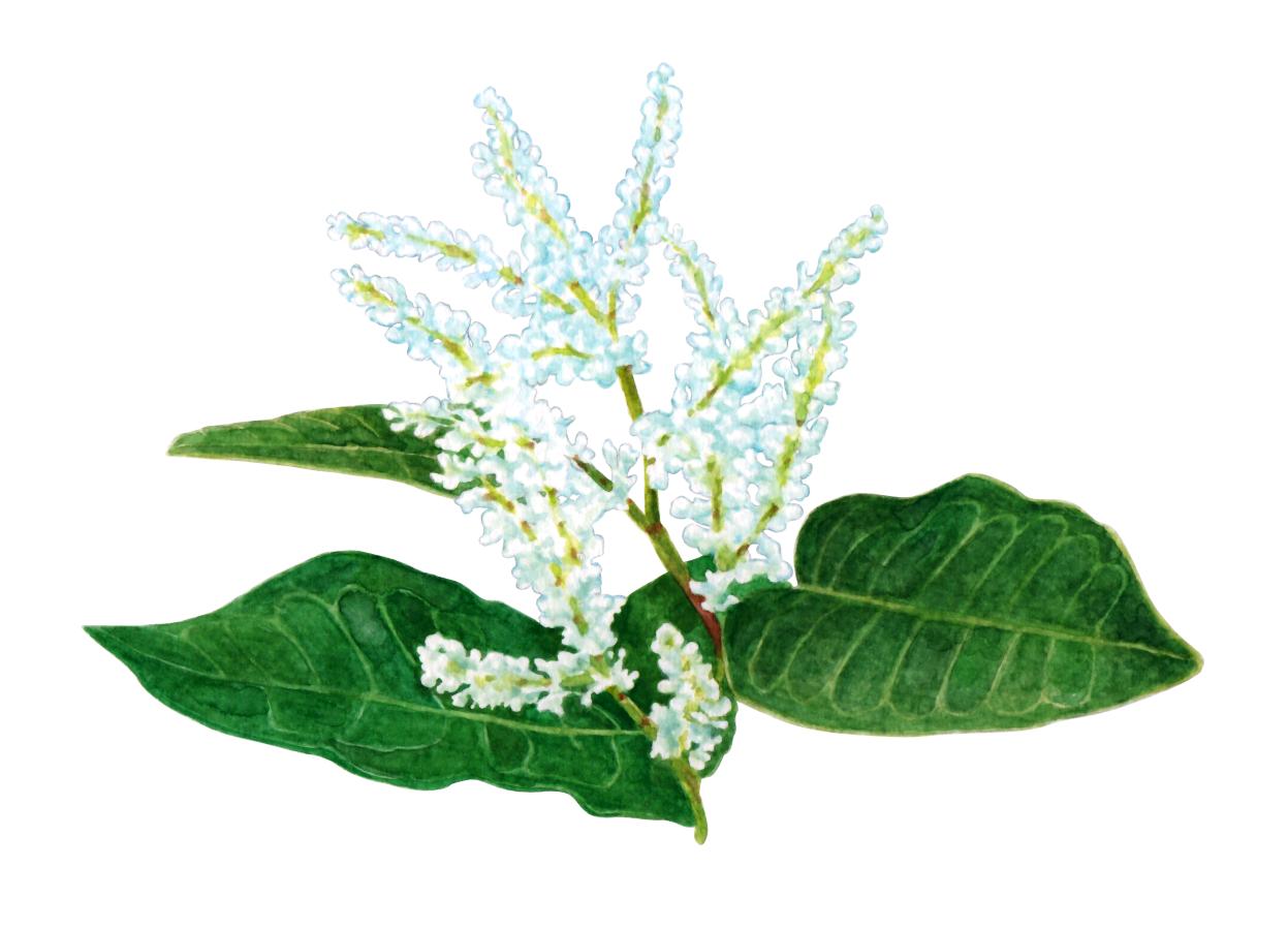 Falopia japonica