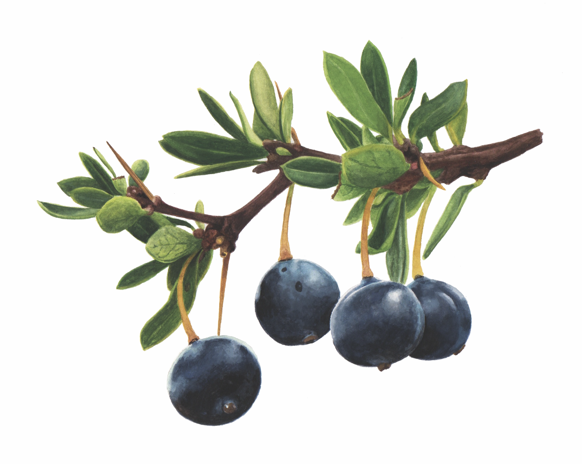 Calafate •Berberis microphylla•