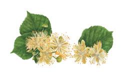 Flor de Tilo