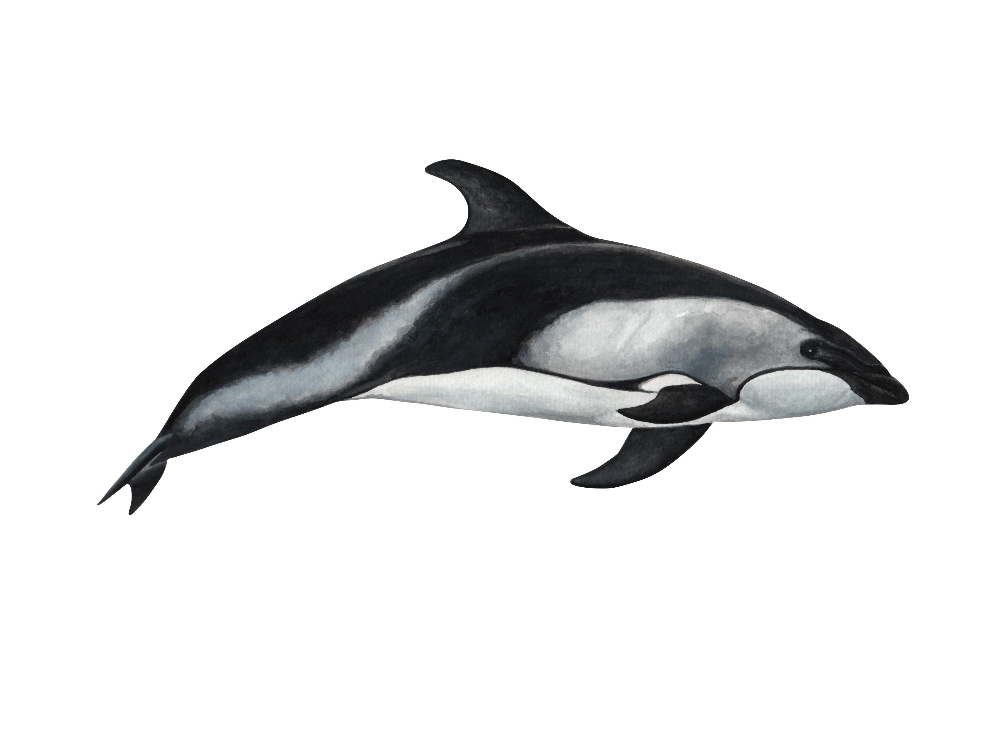 Delfín austral