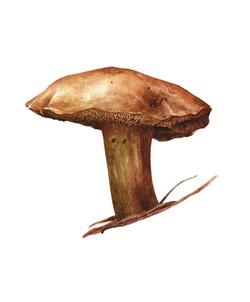Chalciporus piperatus