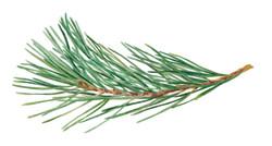 Rama de pino