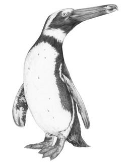 Spheniscus megaramphus