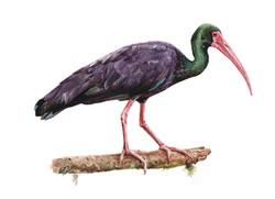 Cuervo de pantano