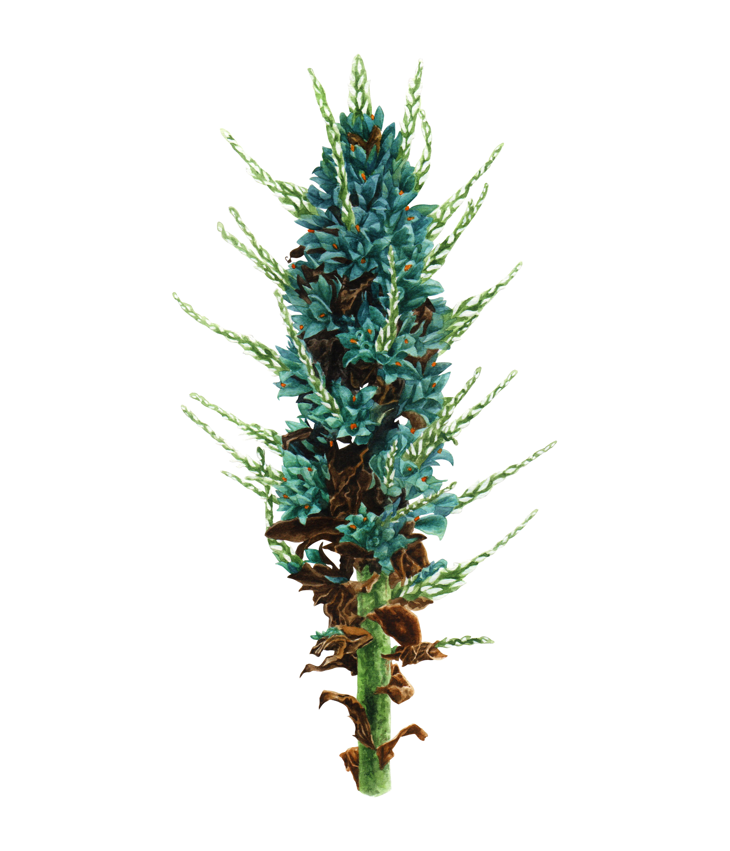 Chagual azul