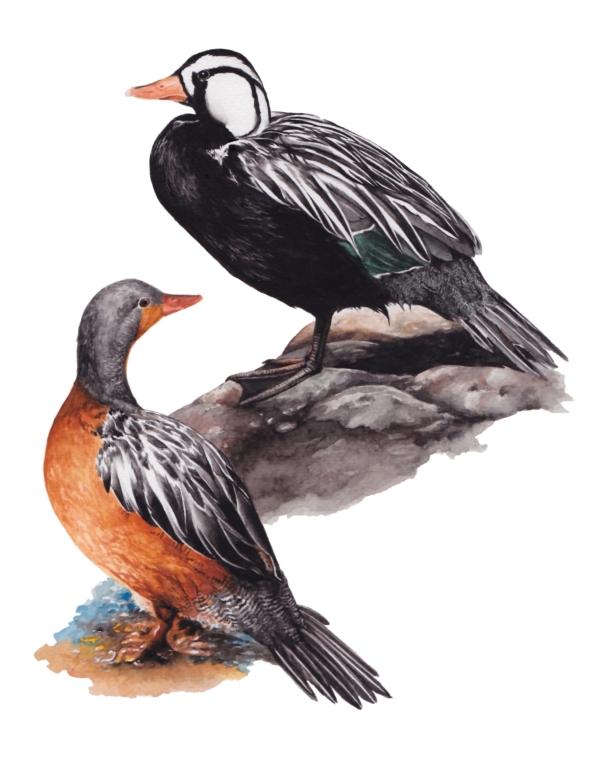 Pato cotacorrientes