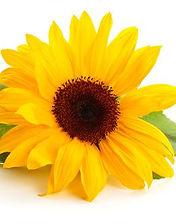 sunflower 5 a.jpg
