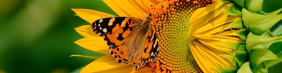 Butterfly on sunflower 1 j.jpg