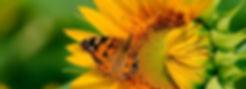 Butterfly on sunflower 1 f.jpg