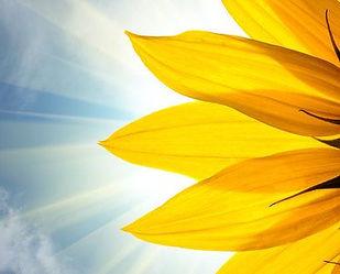 sunflower 3 a.jpg